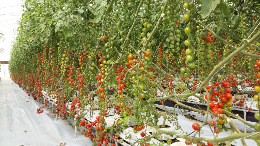 Cherry Tomato and other hydroponnic grown